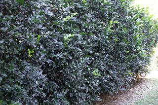 Murraya paniculata. Buis de Chine ou oranger jasmin.
