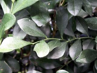 Murraya paniculata. Folioles.