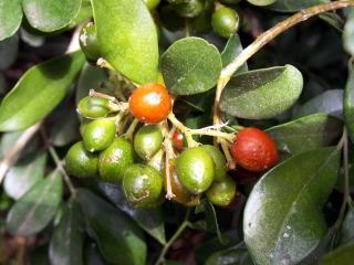 Murraya paniculata. Fruits.
