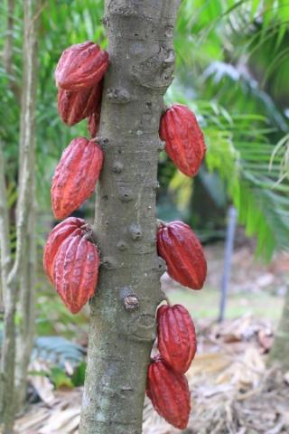 Cacaoyer cacao. Fruit : Cabosse. Theobroma cacao.