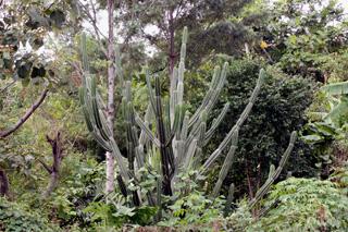 Cereus hexagonus (L.) Mill. Cactus cierge.