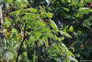 Calliandra calothyrsus Meisn.