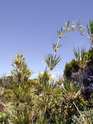 Calumet bambou endémique de La Réunion.