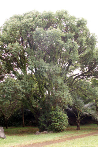 Cinnamomum camphora. Camphrier.