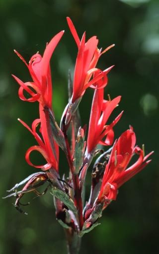 Fleur : Canna indica.