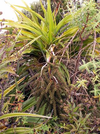 Fruits Canne marronne endémique de La Réunion et de Maurice.