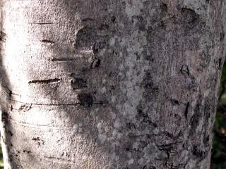 Cinnamomum verum. Cannelier de Ceylan.