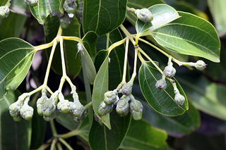 Cinnamomum verum J. Presl.