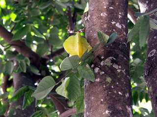 Averrhoa carambola L. Carambolier fruit carambole.