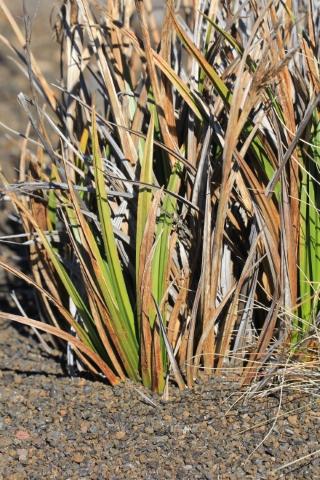 Carex borbonica Lam. Endémique de La Réunion.