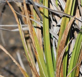 Carex borbonica Lam.