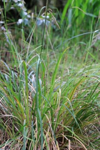 Carex boryana Schkuhr.