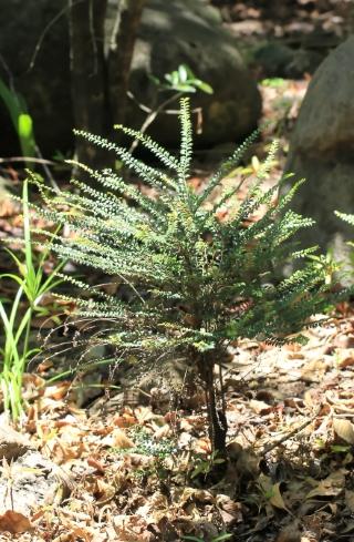 Carissa spinarum L. Bois amer.