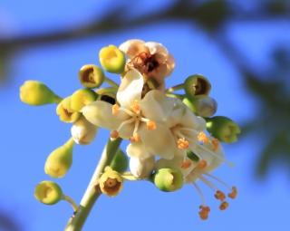 Ceiba pentandra. Fleurs.
