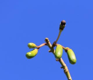 Ceiba pentandra. Fruits.