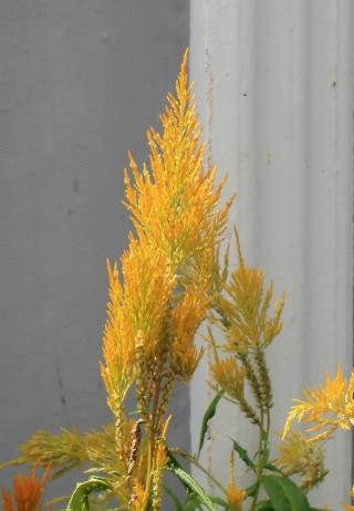 Célosia argentea var. plumosa. Celosie Plumeuse.