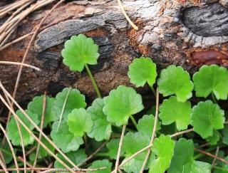 Centella asiatica (L.) Urb.