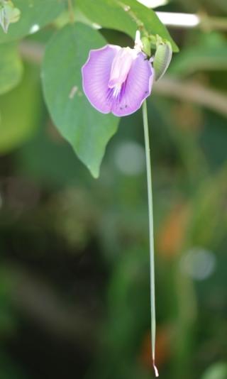 Centrosema pubescens Benth. Centrosème pubescent.