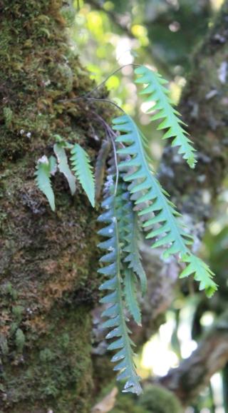 Ceradenia leucosora (Bojer ex Hook.) Parris.