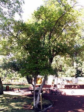 Eugenia brasiliensis Lam. Cerisier du Brésil Cerise du Brésil.