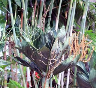 Chamaedorea metallica. Metallic palm.