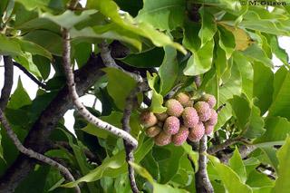 Magnolia champaca (L.) Baill. ex Pierre.