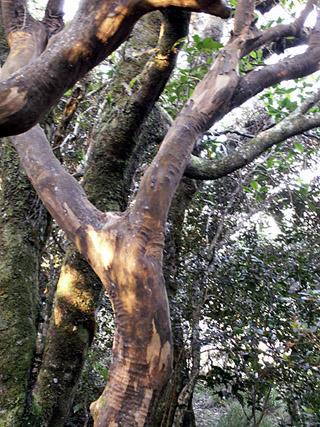 Change écorce ou goyave marron indigène de La Réunion
