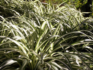 Phalangium, phalangère ou plante araignée. Chlorophytum comosum.