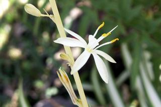 Fleur de : Phalangium, phalangère ou plante araignée. Chlorophytum comosum.