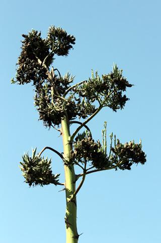 Agave americana. Hampe florale