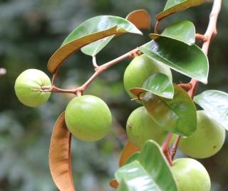 Chrysophyllum cainito.