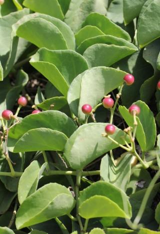 Cissus rotundifolia (Forssk.) Vahl.