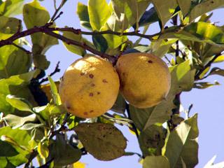 Citronnier, citrons