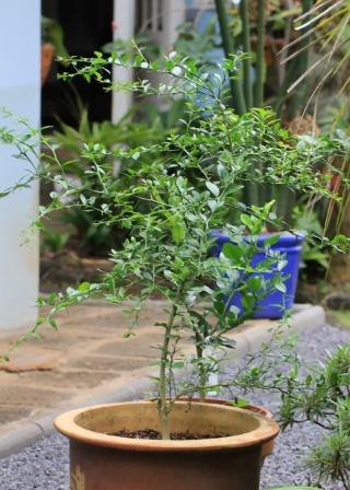 Citrus australasica F.Muell.