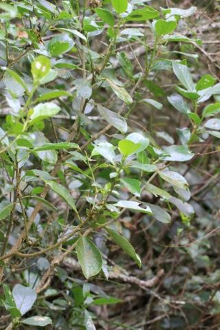 Claoxylon parviflorum A. Juss.