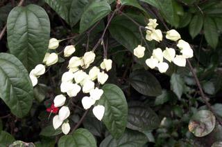 Clerodendrum thomsoniae Balf.f.