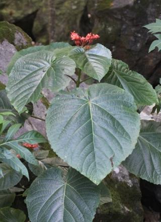 Clerodendrum speciosissimum. Clerodendron de java.