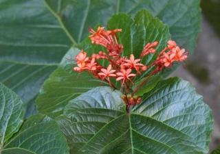 Clerodendrum speciosissimum. Fleurs et fruits.