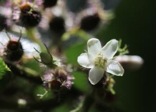 Fleur Clidemia hirta.