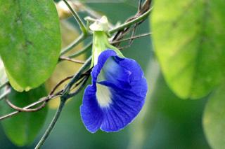 Fleur Comestible Bleu Fleur Blanche Et Violette Gite Pompadour