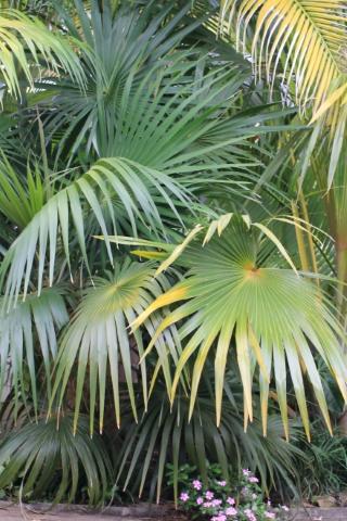 Coccothrinax crinita.