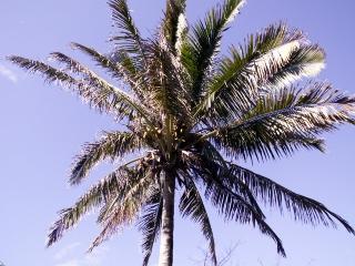 Cocos nucifera L. Cocotier. Noix de coco.