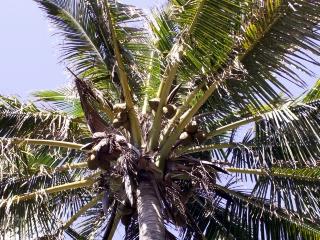 Cocos nucifera l cocotier noix de coco - Palmier noix de coco ...
