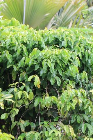 Coffea canephora Pierre ex A. Froehner.