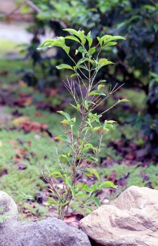 Coffea eugenioides S.Moore.