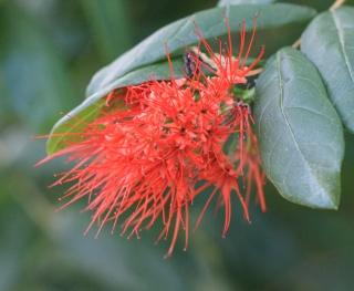 Combretum constrictum (Benth.) Lawson. Fleurs.