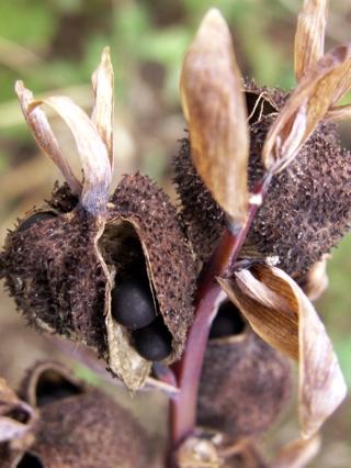 Canna indica. Fruit et graines.