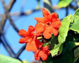 Cordia sebestena. Fleurs.