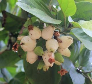 Cordia sebestena. Fruits.