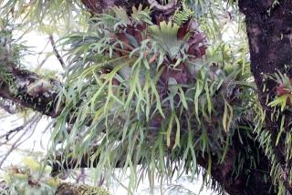 Platycerium alcicorne Desv. Corne de cerf.